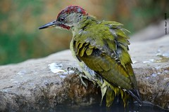 Picot verd sortin del bany* (Enllasez - Enric LLaó) Tags: aves aus bird birds ocells pájaros 2018 vallbona hide picot picotverd