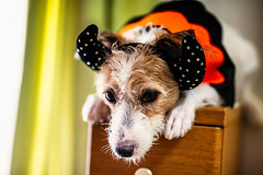 Rehearsal for October (moaan) Tags: kobe hyogo japan jp dog jackrussellterrier kinoko costume costumed bat october halloween indoor puzzled embarrassed focusonforeground selectivefocus depthoffield dof bokeh bokehphotography canon canonphotography canoneos5dsr sigma50mmf14dghsm utata 2018