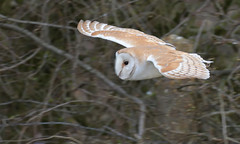 Barn Owl (KHR Images) Tags: barnowl barn owl tytoalba wild bird birdofprey inflight flying hunting nenewashes cambridgeshire fens eastanglia wildlife nature nikon d500 kevinrobson khrimages