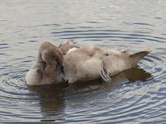 It's tiring all this swimming (Simply Sharon !) Tags: cygnet swan muteswan babyanimals bird britishwildlife wildlife nature thryberghcountrypark august