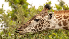 Nairobi-Nationalpark 011 (ovg2012) Tags: giraffatippelskirchi kenia kenya masaigiraffe massaigiraffe nairobinationalpark safari