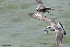 Gulls J78A0885 (M0JRA) Tags: gulls birds flight flying wildlife rats walks gardens parks fields trees lakes ponds ducks swans rspb