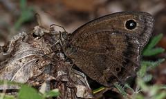 The Wood Brown-Black Butterfly (G.Sartori.510) Tags: pentaxk3 smcpentaxda300mmf4edifsdm farfalla butterfly minoisdryas maschio male farfallabrunonera brownblackbutterfly bosco wood nymphalidae
