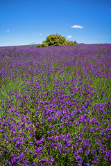 Cursed Fields || GOULBURN || NSW (rhyspope) Tags: australia aussie nsw new south wales goulburn rhys pope rhyspope canon 5d mkii patersons curse flower field meadow floral purple blue sky colour color travel farm country green cattle grazing land rural amazing