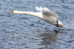 Swan (Richard J Hunt) Tags: nature wildlife canon700d birdwatching bird flight swan lunt meadows