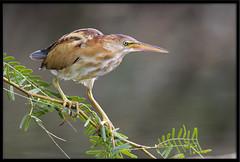 Least Bittern (Lee_Marcus) Tags: leastbittern bittern ixobrychusexilis heron waterbird waterfowl