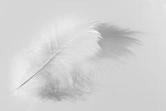 Feather (Arkle1) Tags: smileonsaturday whiteonwhite