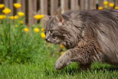 On the move (FocusPocus Photography) Tags: fynn fynnegan katze kater cat chat gato tier animal haustier pet garten garden inbewegung onthemove