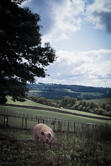 Happy as a pig in... (ellieupson) Tags: hesketh farm pig yorkshire boltonabbey dales north country hills green animal tree skipton northyorkshire