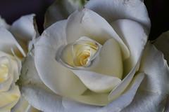 DSC_1437 (PeaTJay) Tags: nikond750 sigma reading lowerearley berkshire macro micro closeups gardens indoors nature flora fauna plants flowers bouquet rose roses rosebuds
