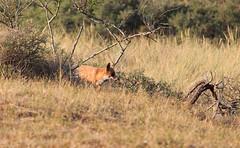 Waterleidingduinen: natural beauties (H. Bos) Tags: vos fox waterleidingduinen amsterdamsewaterleidingduinen natuur nature zandvoort vogelenzang awd natura2000