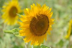 Sonnenblume - sunflower - le tournesol (Ernie :+)) Tags: sonnenblume sunflower tournesol garten hospital garden jardin saintpauldemausole saintrémydeprovence france nikon d7000 d7k nikond7000 provence letournesol frankreich dof