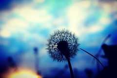 Make a wish (Bakehouse Photography) Tags: dandelion sunset colour sony sonya6300 macro nature flower macrodreams