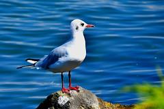 Fière sur son rocher (Diegojack) Tags: vaud suisse morges quais d500 nikon nikonpassion léman bleu oiseaux mouettes pattes rouges
