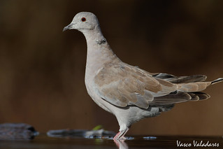 Rola-turca, Eurasian collared dove (Streptopelia decaocto)