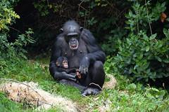 Western Chimpanzee (Pan troglodytes verus) (Seventh Heaven Photography) Tags: western chimpanzee chimp west african pan troglodytes verus animal pantroglodytesverus mammal primate baby juvenile stevie zeezee mum trees grass nikond3200 chester zoo cheshire