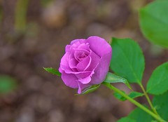 Summer rose (Changer4Ever) Tags: nikon d750 nikkor 1050mmf28 flower plant life nature season bokeh dof depthoffield closeup macro petals