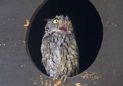 Attack from above!! (Hockey.Lover) Tags: westernscreechowl birds delvalleregionalpark attack californiascrubjay