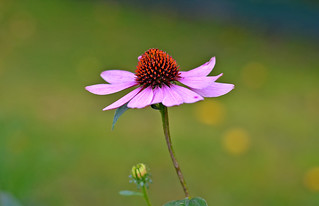 It's still warm autumn. Echinacea purpurea. September 2018, Finland
