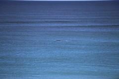 IMG_3585 (gervo1865_2 - LJ Gervasoni) Tags: surfing with whales lady bay warrnambool victoria 2017 ocean sea water waves coast coastal marine wildlife sealife blue photographerljgervasoni