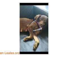 ¡¡PERDIDA EN TENERIFE - ADEJE!! (Leales.org • tu guía animable) Tags: adopta adoptar adoptanocompres noalmaltratoanimal adopción sebusca extraviado perdido perro gatos lealesorg