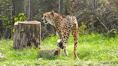 Guépard - 5912 (ΨᗩSᗰIᘉᗴ HᗴᘉS +22 000 000 thx) Tags: coolpixp1000 nikonp1000 p1000 guépard animal pairidaiza hensyasmine namur belgium europa aaa namuroise look photo friends be wow yasminehens interest intersting eu fr greatphotographers lanamuroise