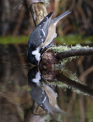 Drinking Coal Tit (tobyhoulton) Tags: coal tit bird wildlife nature scotland highlands toby houlton nikon d500