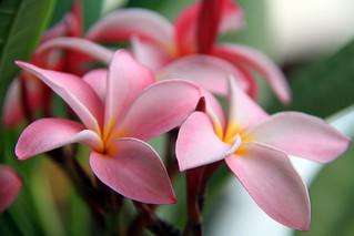 Douce Plumeria de Tahiti