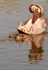le bâillement d' hippo (latourinfernal) Tags: hippopotame afrique serengeti safari canon5dmark3 reproduction dent