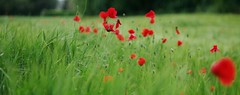 Poppies (Stefano Rugolo) Tags: stefanorugolo pentax k5 pentaxk5 smcpentaxm50mmf17 ricohimaging poppies field depthoffield flowers bokeh manualfocuslens manualfocus manual vintagelens archive 2015 panoramacrop flower grass garden plant