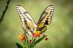 140A0400 (Ricky Floyd) Tags: butterfly canon