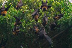 Bats chilling (tiago.afons) Tags: trees bats zoo