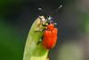 Criocère du lis - Scarlet lily beetle - Lilioceris lilii (A_Decostre) Tags: alfred decostre criocère lis scarlet lily beetle lilioceris lilii