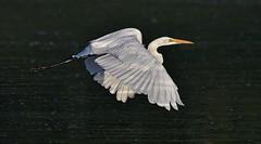 Grace in flight (cseager40) Tags: flight bif great egret nikon highlightmetering