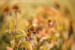 Over... (marionrosengarten) Tags: challenge langerheisersommer blumen verblüht feld aquarell gemälde sommer bunt farbig sonnenhut echinacea freigestellt natur wunder vergänglichkeit schönheit swirl effect