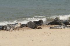 2018_Norfolk_HorseyBeach_Seals_20 (atkiteach) Tags: norfolk uk england horsey horseybeach sea seaside northsea beach seal seals