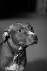 IMG_6455 (Brother Christopher) Tags: brotherchris dog pitbull pit bnw blackandwhite monochrome monochromatic bx thebronx home sitting portrait portraiture explore inexplore cute tongue pet animal