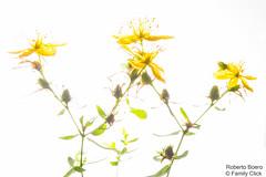 ROB_0891 (Roberto Boero) Tags: serravallelanghe backlighting fiori macro
