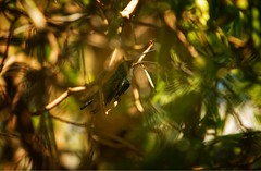 Hummingbird stalking (Danielle Asia) Tags: birdwatching dslr teamcanon birds bird hummingbird