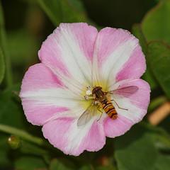 2018_07_0247 (petermit2) Tags: marmaladehoverfly hoverfly fieldbindweed bindweed northcavewetlands northcave brough eastyorkshire eastridingofyorkshire yorkshire yorkshirewildlifetrust ywt wildlifetrust wildlifetrusts