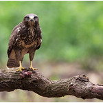 Common Buzzard - Buizerd (Buteo buteo) ... thumbnail