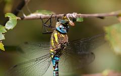Migrant Hawker(Aeshna mixta) (kevinclarke1969) Tags: migrant hawker dragonfly aeshna mixta hatfield moor natural england humberhead peatlands