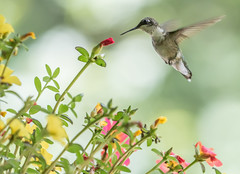 Portulaca and Hummingbird   1Z9A4399 (DCLbyrdnyrd) Tags: hummingbird portulalca flower