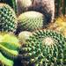 Cactus Garden #jcutrer
