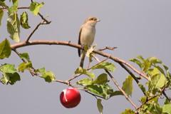 Neuntöter (MyWorldsView) Tags: neuntöter redbacked shrike vogel bird nature wildlife