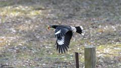 Score!! 🍓 (Riley-Dobe) Tags: strawberry kurrawong australia black flight action beak d7100 70200 nature blackbird food