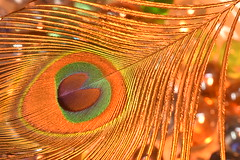 Peacock Feather (Zahidur Rahman ( Will be back soon )) Tags: definingbeauty macromondays macro wings indoor colors peacock orangetone lines bokeh light green orange blue line beauty beautifulwings abstract texture details golden art