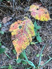 I Like Poison Ivy - (in the fall) (Neal3K) Tags: poisonivy fallcolor redandyellow henrycountyga georgia