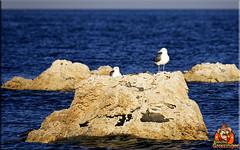All that gold! (Joe Grossinger) Tags: gulls water tufa joe grossinger