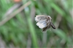 chased tihis tiny bugger for ages to catch it in flight (Paul Wrights Reserved) Tags: moth butterfly mothinflight butterflyinflight butterflies moths insect inflight insects insectinflight